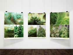 Seedsman A3 Strain Posters (3 Pack)
